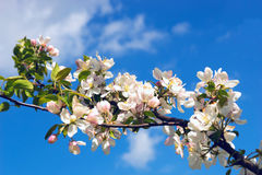 Δέντρο της Apple κλάδων με τα λουλούδια στο υπόβαθρο του μπλε ουρανού Στοκ Εικόνα