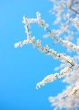 Δέντρο της Apple με πολλά λουλούδια Στοκ εικόνα με δικαίωμα ελεύθερης χρήσης