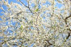 Δέντρο της Apple με πολλά λουλούδια Στοκ εικόνες με δικαίωμα ελεύθερης χρήσης