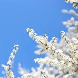 Δέντρο της Apple με πολλά λουλούδια Στοκ Εικόνες