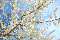 Δέντρο της Apple με πολλά λουλούδια Στοκ φωτογραφία με δικαίωμα ελεύθερης χρήσης