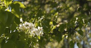 Δέντρο της Apple με τα άσπρα λουλούδια σε έναν κήπο Στοκ φωτογραφίες με δικαίωμα ελεύθερης χρήσης