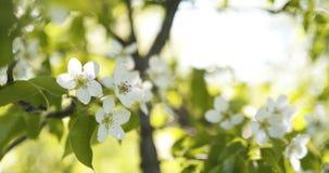 Δέντρο της Apple με τα άσπρα λουλούδια σε έναν κήπο Στοκ εικόνα με δικαίωμα ελεύθερης χρήσης