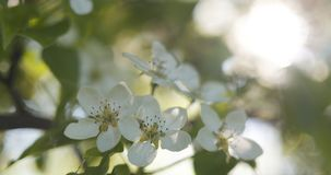Δέντρο της Apple με τα άσπρα λουλούδια σε έναν κήπο Στοκ Φωτογραφίες
