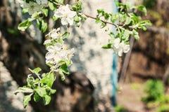 Δέντρο της Apple με τα ανθίζοντας άσπρα λουλούδια μια ηλιόλουστη ημέρα Στοκ Φωτογραφία
