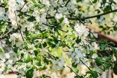 Δέντρο της Apple με τα ανθίζοντας άσπρα λουλούδια μια ηλιόλουστη ημέρα Στοκ Εικόνα