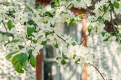 Δέντρο της Apple με τα ανθίζοντας άσπρα λουλούδια μια ηλιόλουστη ημέρα Στοκ Φωτογραφίες