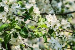 Δέντρο της Apple με τα ανθίζοντας άσπρα λουλούδια μια ηλιόλουστη ημέρα Στοκ εικόνα με δικαίωμα ελεύθερης χρήσης