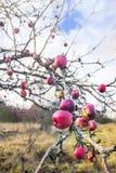 Δέντρο της Apple με τα ζωηρόχρωμα μήλα στα τέλη του φθινοπώρου Στοκ εικόνες με δικαίωμα ελεύθερης χρήσης