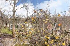 Δέντρο της Apple με τα ζωηρόχρωμα μήλα στα τέλη του φθινοπώρου Στοκ Εικόνες