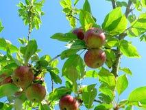 Δέντρο της Apple με τα κόκκινα και πράσινα μήλα Στοκ Εικόνα