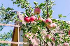 Δέντρο της Apple με τα κόκκινα μήλα Το δέντρο μηλιάς στον κήπο Φρούτα θερινών κήπων πράσινο δέντρο μήλων Συγκομιδή των μήλων Κόκκ Στοκ Εικόνες