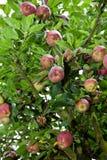 Δέντρο της Apple με τα κόκκινα μήλα Στοκ Εικόνες