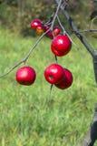 Δέντρο της Apple με τα κόκκινα μήλα Στοκ Φωτογραφίες