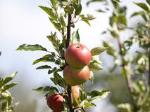 Δέντρο της Apple με τα κόκκινα μήλα Στοκ εικόνες με δικαίωμα ελεύθερης χρήσης