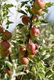 Δέντρο της Apple με τα κόκκινα μήλα Στοκ φωτογραφίες με δικαίωμα ελεύθερης χρήσης