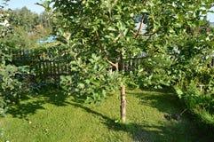 Δέντρο της Apple με τα μήλα που αυξάνονται στον κήπο στο υπόβαθρο της χλόης και ενός ξύλινου φράκτη Στοκ Εικόνες