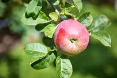 Δέντρο της Apple με τα μήλα Στοκ φωτογραφίες με δικαίωμα ελεύθερης χρήσης