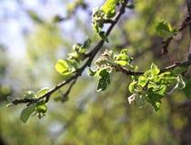 Δέντρο της Apple με τα μικρά λουλούδια Στοκ Εικόνα