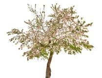 Απομονωμένο δέντρο μηλιάς με τα άσπρα λουλούδια Στοκ Φωτογραφίες