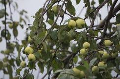 Δέντρο της Apple με τα πράσινα μήλα και τα φύλλα Στοκ Φωτογραφίες