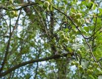 Δέντρο της Apple με τα πράσινα μήλα στον κήπο Στοκ Εικόνα