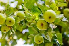 Δέντρο της Apple με τα πράσινα οργανικά μήλα Στοκ Εικόνα