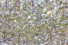 Δέντρο της Apple με τα πράσινα φύλλα στο χιόνι Στοκ φωτογραφίες με δικαίωμα ελεύθερης χρήσης