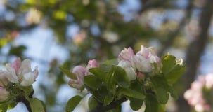 Δέντρο της Apple με τα ρόδινα λουλούδια σε έναν κήπο Στοκ Φωτογραφίες