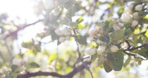 Δέντρο της Apple με τα ρόδινα λουλούδια σε έναν κήπο Στοκ φωτογραφία με δικαίωμα ελεύθερης χρήσης