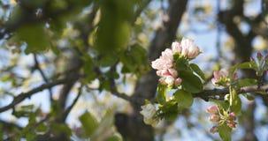 Δέντρο της Apple με τα ρόδινα λουλούδια σε έναν κήπο Στοκ εικόνες με δικαίωμα ελεύθερης χρήσης