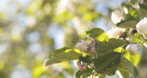 Δέντρο της Apple με τα ρόδινα λουλούδια σε έναν κήπο Στοκ φωτογραφίες με δικαίωμα ελεύθερης χρήσης