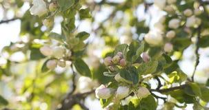 Δέντρο της Apple με τα ρόδινα λουλούδια σε έναν κήπο Στοκ Εικόνες