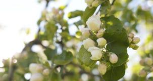 Δέντρο της Apple με τα ρόδινα λουλούδια σε έναν κήπο Στοκ Φωτογραφία