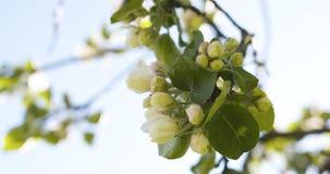 Δέντρο της Apple με τα ρόδινα λουλούδια σε έναν κήπο Στοκ Εικόνα