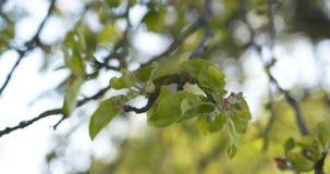 Δέντρο της Apple με τα ρόδινα λουλούδια σε έναν κήπο Στοκ εικόνα με δικαίωμα ελεύθερης χρήσης