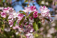 Δέντρο της Apple με τα ρόδινα λουλούδια Στοκ Εικόνα