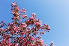 Δέντρο της Apple με τα ρόδινα λουλούδια Στοκ Φωτογραφίες