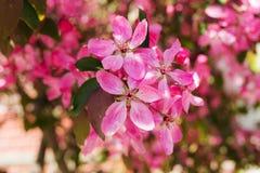 Δέντρο της Apple με τα ρόδινα λουλούδια Στοκ φωτογραφία με δικαίωμα ελεύθερης χρήσης
