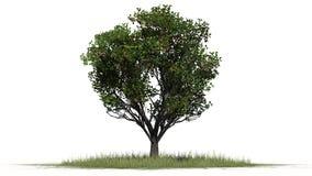 Δέντρο της Apple με τα φρούτα - που χωρίζονται στο άσπρο υπόβαθρο Στοκ εικόνα με δικαίωμα ελεύθερης χρήσης