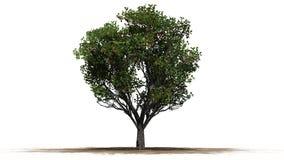 Δέντρο της Apple με τα φρούτα - που χωρίζονται στο άσπρο υπόβαθρο Στοκ φωτογραφία με δικαίωμα ελεύθερης χρήσης
