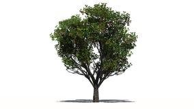 Δέντρο της Apple με τα φρούτα - που χωρίζονται στο άσπρο υπόβαθρο Στοκ Εικόνες