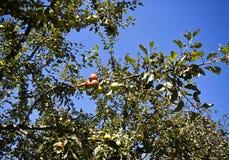 Δέντρο της Apple με τα φρούτα στον οπωρώνα Στοκ εικόνα με δικαίωμα ελεύθερης χρήσης