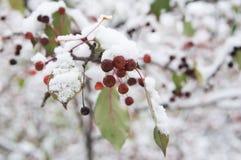 Δέντρο της Apple με τα φρούτα στο χιόνι Στοκ φωτογραφία με δικαίωμα ελεύθερης χρήσης