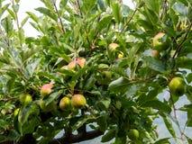 Δέντρο της Apple με τα φρούτα Στοκ Εικόνα