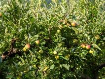 Δέντρο της Apple με τα φρούτα Στοκ εικόνα με δικαίωμα ελεύθερης χρήσης