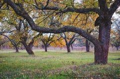 Δέντρο της Apple με τα χρυσά φύλλα το φθινόπωρο Στοκ Φωτογραφία