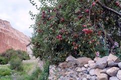 Δέντρο της Apple με τα ωριμάζοντας φρούτα ενός τοίχου πετρών σε ένα κλίμα του κόκκινου βράχου Chusang Στοκ φωτογραφία με δικαίωμα ελεύθερης χρήσης