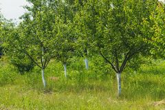 Δέντρο της Apple με τα ώριμα κόκκινα μήλα Στοκ φωτογραφία με δικαίωμα ελεύθερης χρήσης