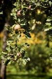 Δέντρο της Apple με τα ώριμα φρούτα στη συγκομιδή Στοκ Φωτογραφία